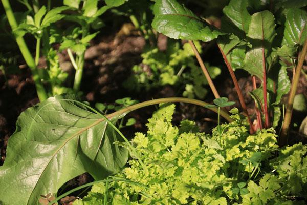 Anahata-organic-garden-greens